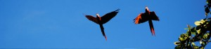 Scarlet Macaws can be seen daily from Cabinas Jimenez in Puerto Jimenez