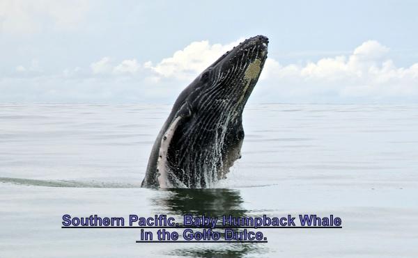 Whales in the Gulfo Dulce